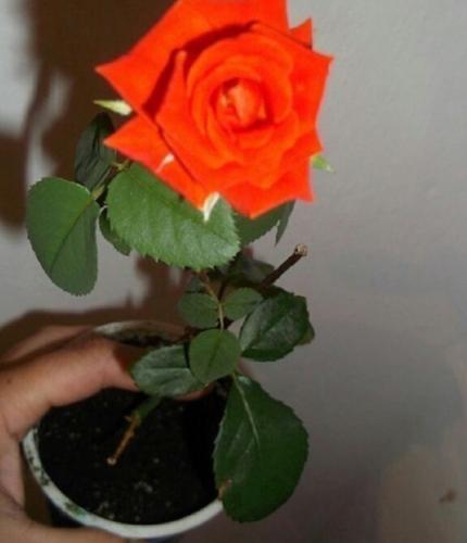 Как сделать отличное средство для проращивания роз в домашних условиях